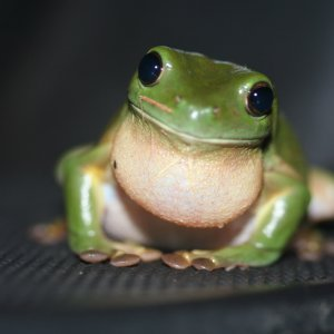 Frogs to Leap Into Mass Extinction