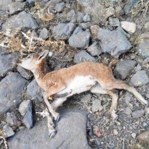 Goat Plague in Alborz