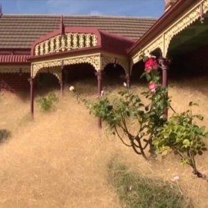 'Hairy Panic' Weeds Terrorize Small Australian Town