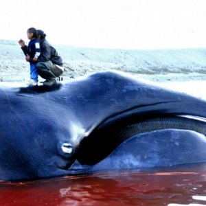 Iceland Whaling Season Begins Despite Protest