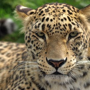 Wildlife Insurance for Persian Leopard