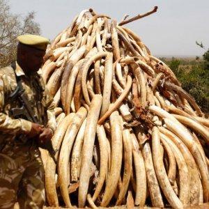 Kenya to Burn 120 Tons of Ivory