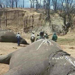 Zimbabwe Elephant  Poisoning Scandal Deepens