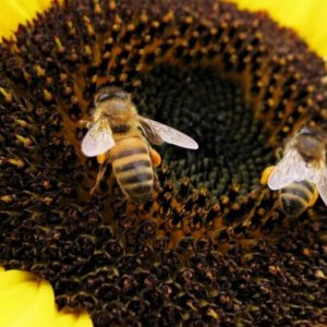 Pollinators Face Extinction, Risking Crop Output