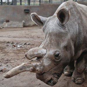 Northern White Rhino Population Down to 3