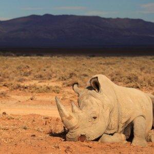 S. Africa Rhino Slaughter Spreading