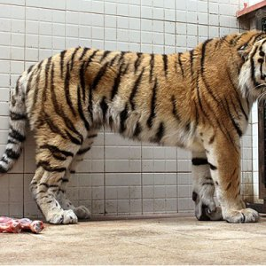 Fate of Amur Tiger to Be Decided in 2016