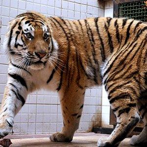 Amur Tiger's Glanders Test Negative