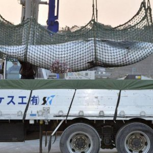 Australia Disappointed by Japan Whaling
