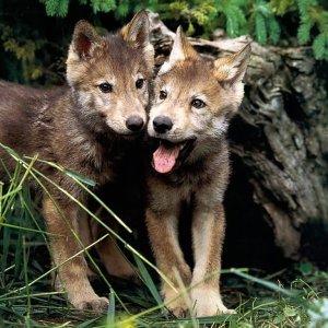 Wolf Smugglers Arrested