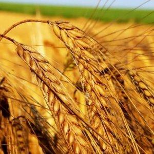 Putin Wheat Tax Stalls
