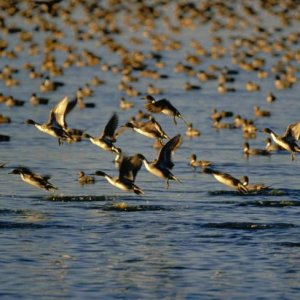 Bird Flu Afflicts Wild Ducks  in North