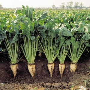 The area under beet cultivation in fall this year stood at around 16,000 hectares, which is up by 60% compared to last year.