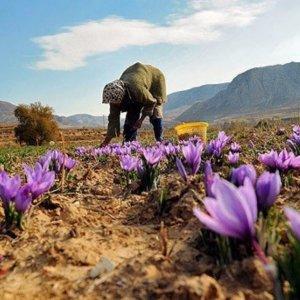 26% Rise in Saffron Export Value