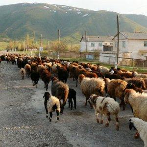 Shortage of Livestock Raises Prices