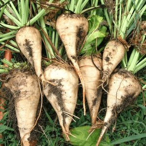 Sugarbeet Production at Record High