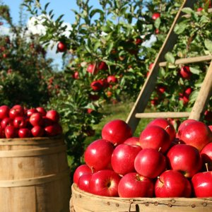 9% Rise Expected in Apple Production