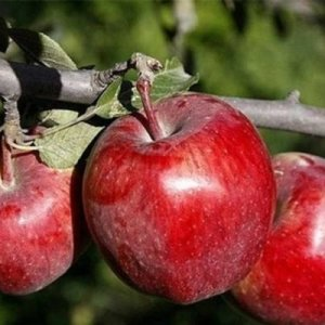 West Azarbaijan: Iran's Apple Production Hub