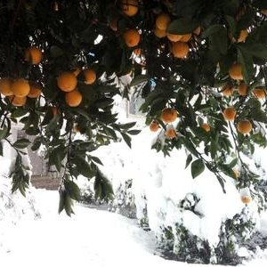 Northern Orchards Safe From Cold Spell