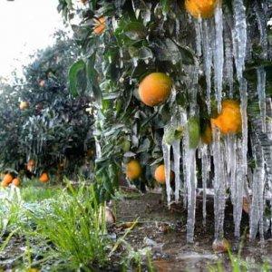 Threefold Rise in Mazandaran Citrus Insurance