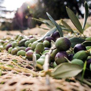 Iran a Major Olive Producer