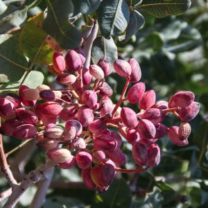 Iran Losing Pistachio Orchards to Water Crises, Soil Salinity