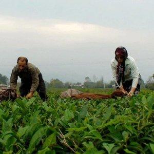 Summer Tea Harvest Underway