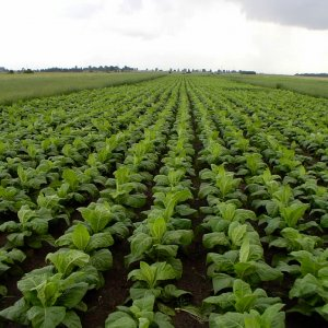 Tobacco Production Meets 20% of Domestic Demand