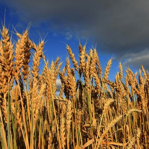 Gov't Wheat Purchases Top 2 Million Tons