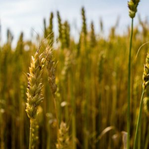 Iran exported its first wheat consignment of 29,630 tons to neighboring Oman on June 12, 2017. (File Photo)