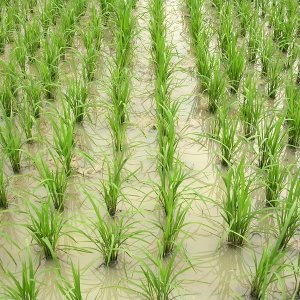 Rice production in Iran stood at 2.25 million tons in the last Iranian year (ended March 20, 2017).