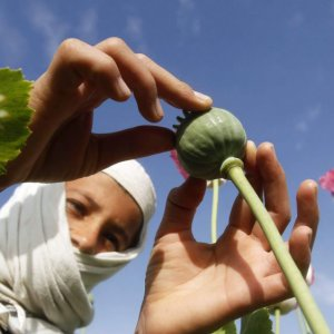 A UNODC report on Afghanistan in 2016 showed poppy cultivation had increased by 10%, and production by 43%.
