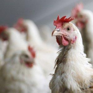 Bird Flu Risk Remains