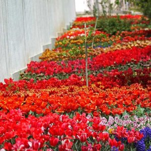 120k Tulip-Covered Sidewalk