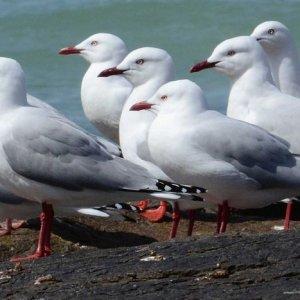 Tasmanian Seabird Numbers Break Record