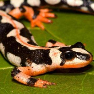 DOE Wary of Salamander Sales