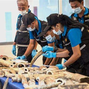 Ivory Haul Seized in Thailand