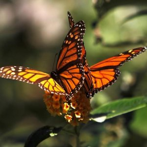 Calif. Monarch Butterflies Decline