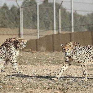 The breeding program involving Delbar and Kooshki started in 2014.