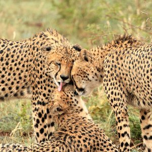 Asiatic Cheetahs Spotted in Semnan