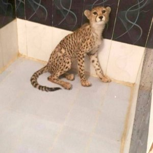 The cub was discovered in the smugglers' hideout in Tehran.