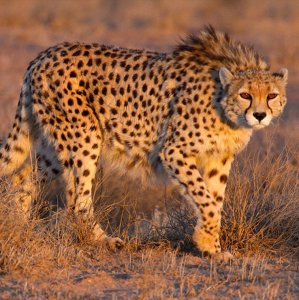 Only about 50 cheetahs remain in the wild, all of which are in Iran. (Photo: Masoud Mokhtari)