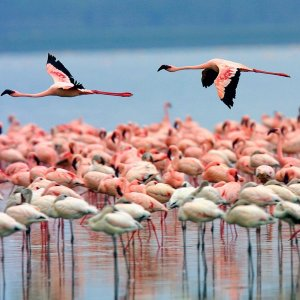 Around 10,000 flamingos are staying put at Urmia Lake and its vernal pools.