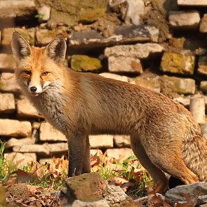 Having seen their habitat shrink as a result of urban encroachment, foxes often approach  human settlements in search of food.