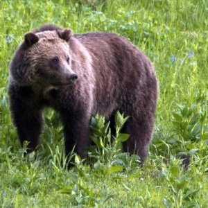 The number of grizzlies in the greater Yellowstone region has climbed to roughly 700 from 136 in 1975.