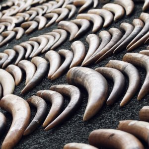 Ivory Prices Drop in Asia Following China's Ban