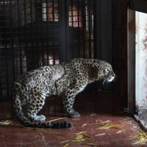 Persian Leopard Near Recovery