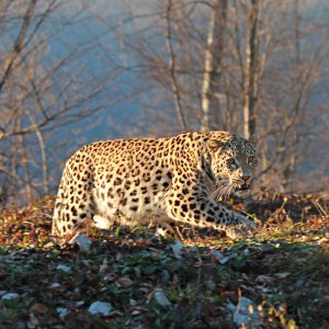Persian Leopard Sighted in S. Khorasan