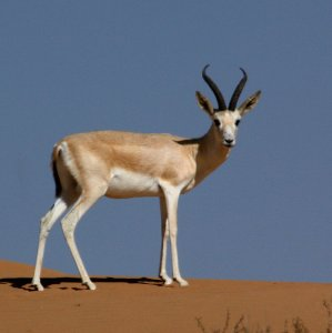 There have been no reports of gazelle casualties in mine blasts so far.
