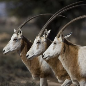 Extinct Antelope Making Comeback in Chad